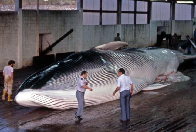 Ballena en factoria Balea de Cangas
