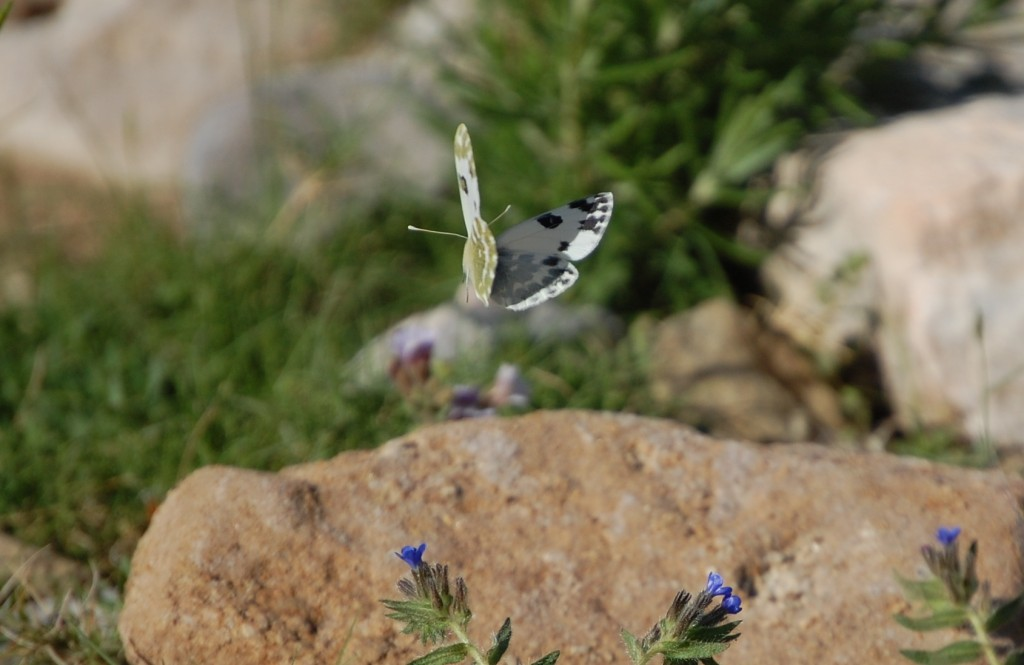 Blanca motedad en vuelo