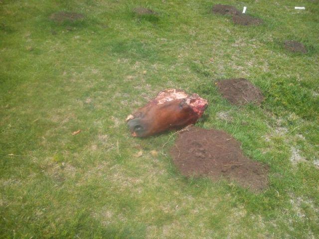 Cabeza de caballo decapitada