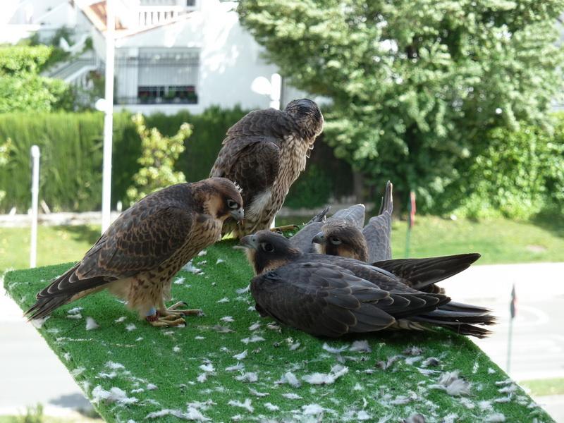 Los halcones del haching de Paco