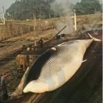 La caza de ballenas en Galicia y algo más