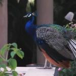 El pavo real, el devorador de Cobras