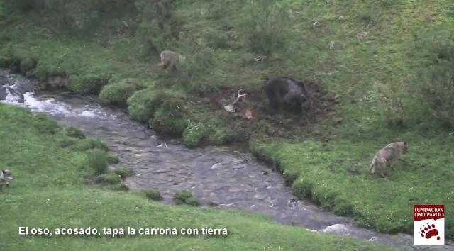 Tres lobos acechan al oso que le ha arrebatado la presa