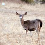 El ciervo mulo o de cola negra
