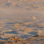 Chorlitejo patinegro en Galicia: un tesoro protegido con papel mojado