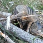 AXENA y ASCEL en contra de la nueva campaña de difamación de los lobos en Barbanza