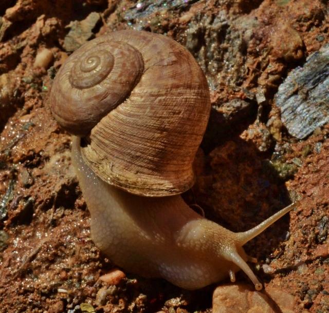 Iberus campesinus