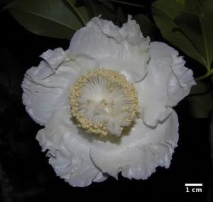 La flor del Baobab abierta. Vista desde abajo