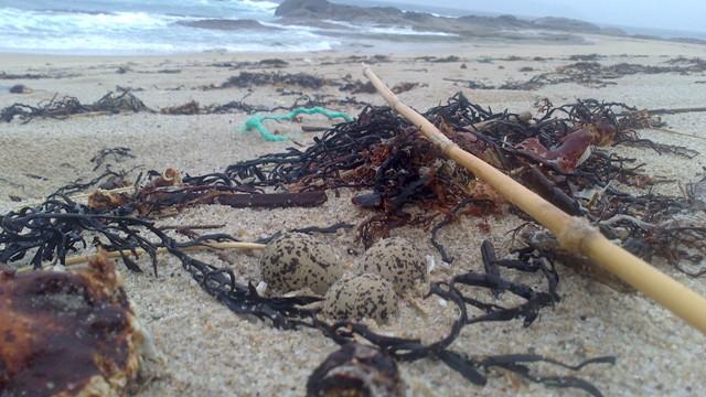 La propia marea a veces arrasa los nidos