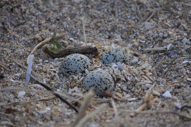 Los huevos se camuflan entre la arena y son muy dificiles de ver