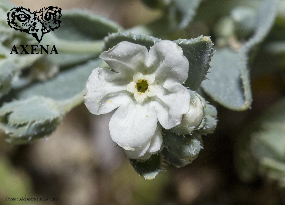Flor de la Omphalodes littoralis