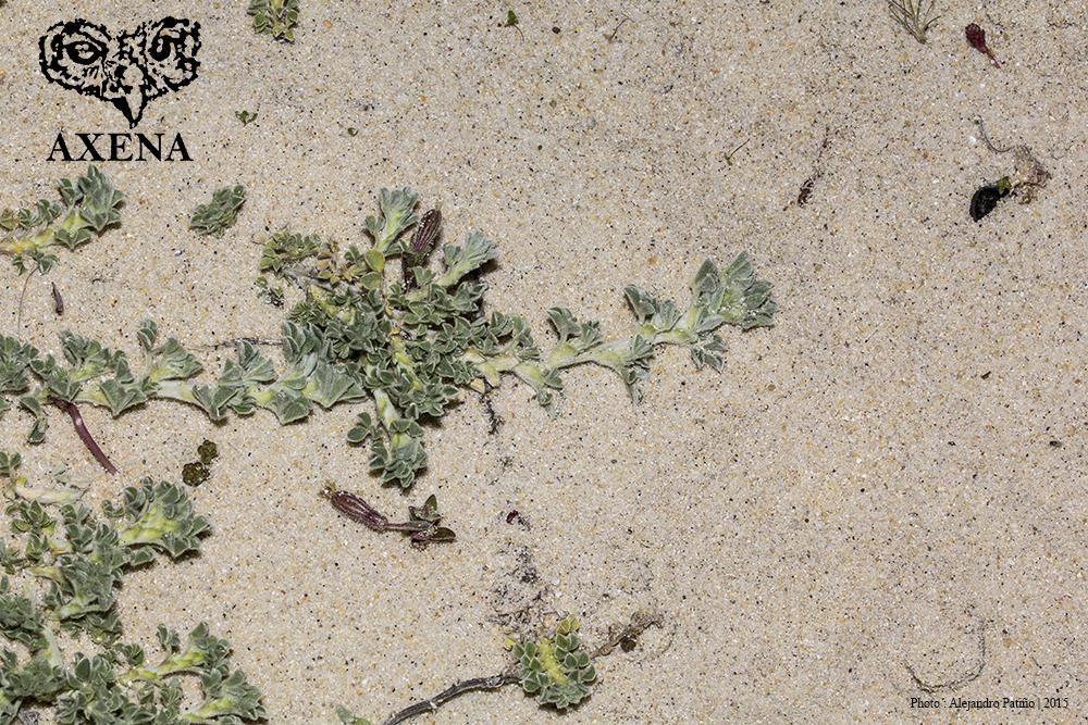 Medicago marina L.(planta completa) en su habitát arenoso de la duna