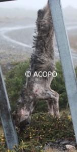 cachorro lobo Acopo