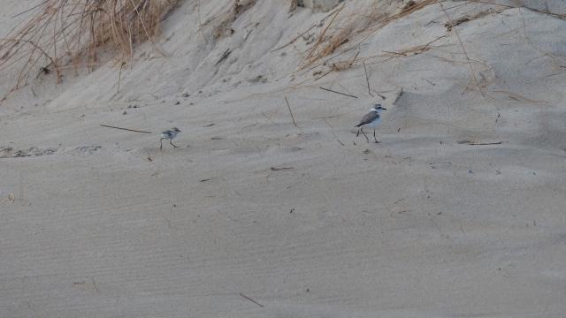 3 Pollo corriendo refugiarse duna llegada bañistas
