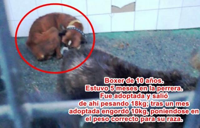 Boxer desnutrida en canil - Perrera Mouga